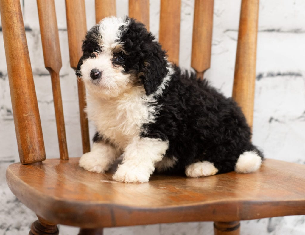 A picture of a Pello, one of our Mini Bernedoodles for sale