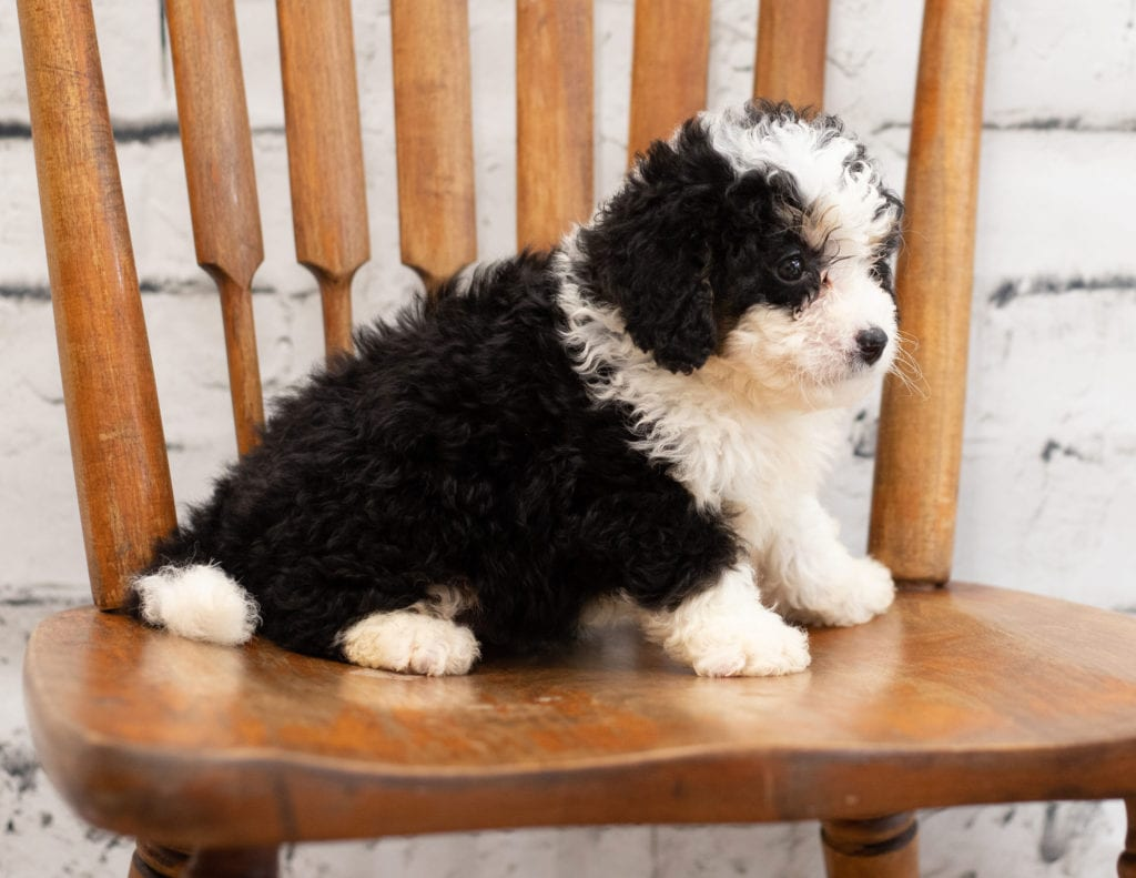 Another great picture of Pello, a Bernedoodles puppy