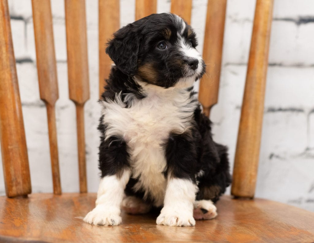 A picture of a Pepe, one of our Mini Bernedoodles for sale