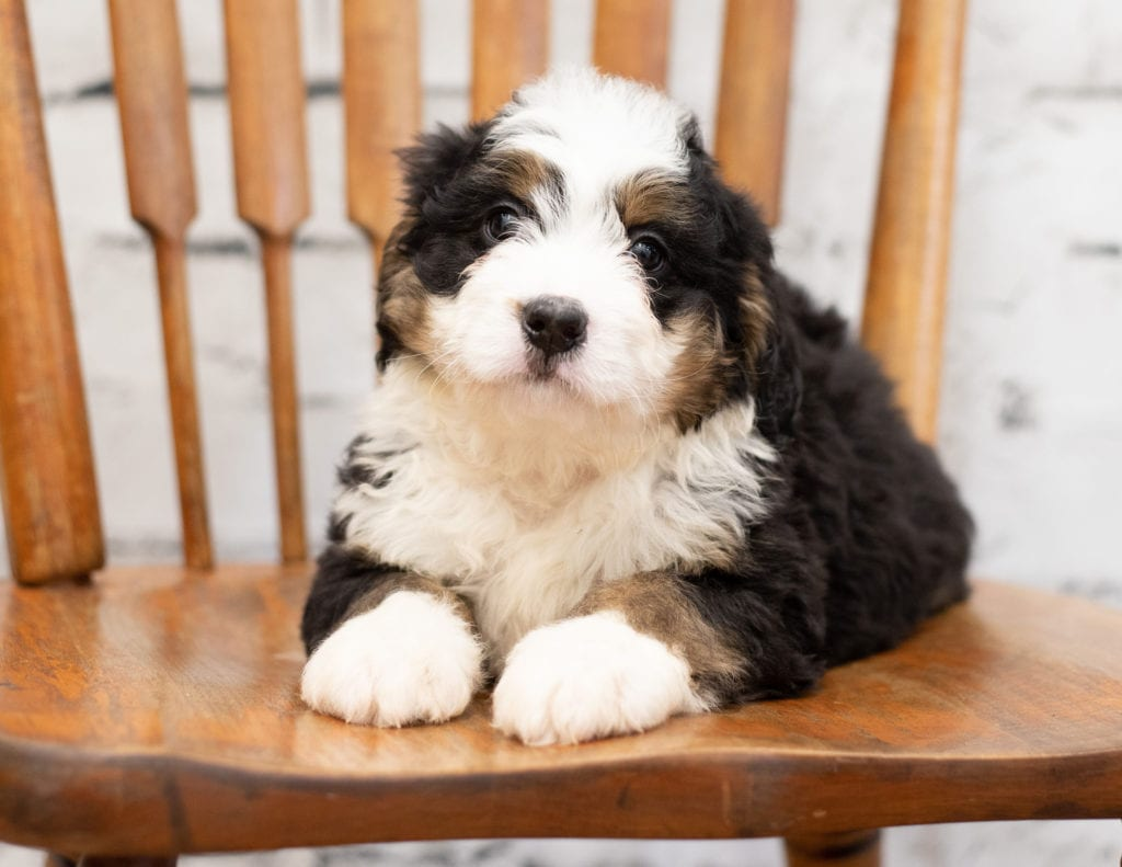 A picture of a Peta, one of our Mini Bernedoodles for sale
