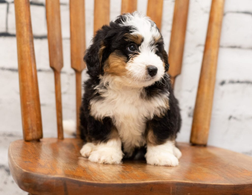 Peter came from Tori and Peter's litter of F1 Bernedoodles