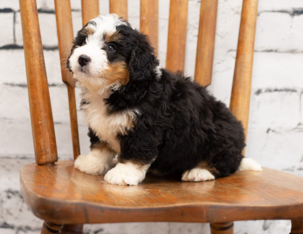 A picture of a Peter, one of our Mini Bernedoodles for sale