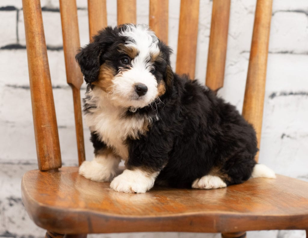 Peter is an F1 Bernedoodle.