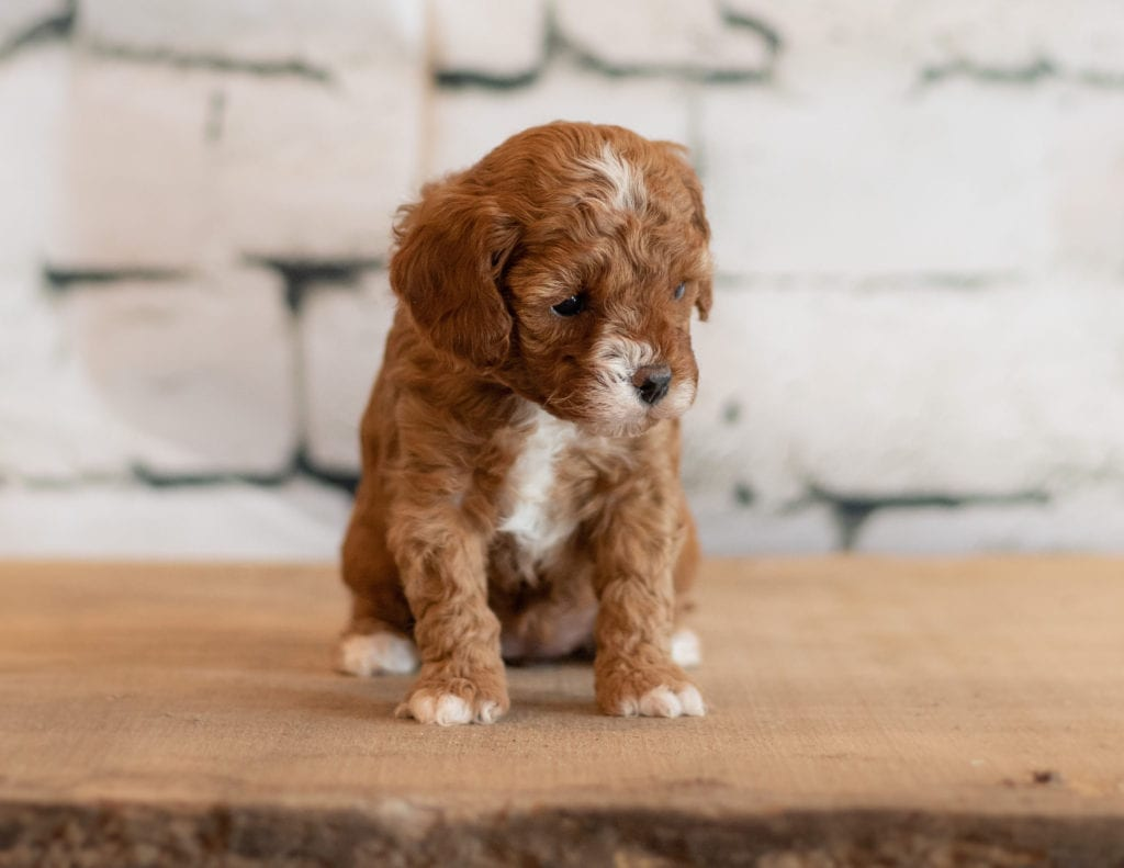 Qana is an F1B Cavapoo that should have  and is currently living in Iowa