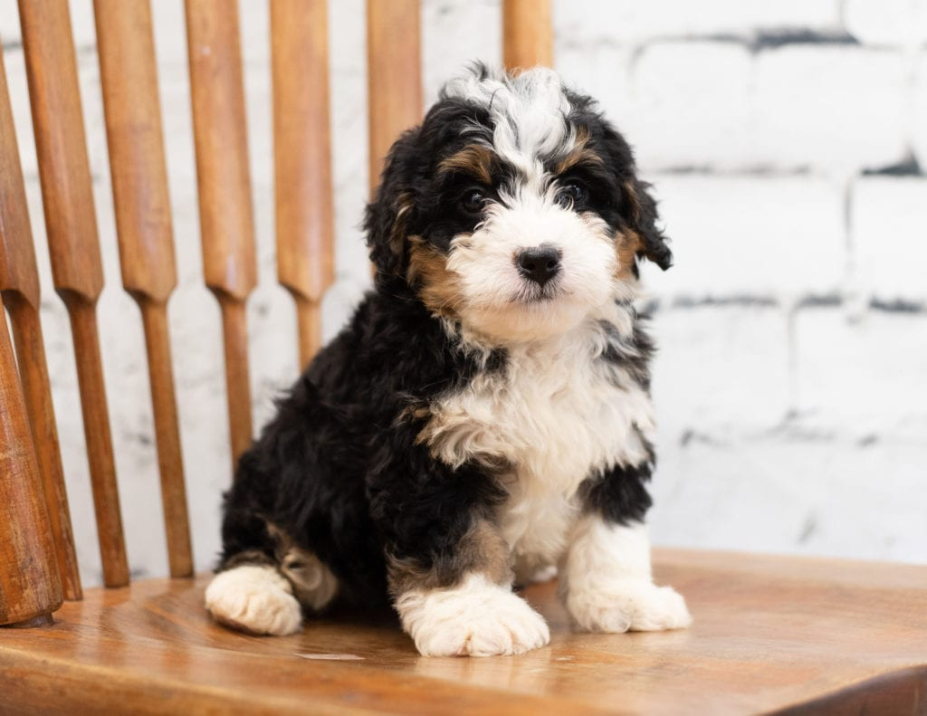 Pixie came from Tori and Pixie's litter of F1 Bernedoodles