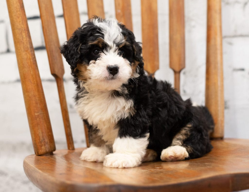 Pixie is an F1 Bernedoodle.
