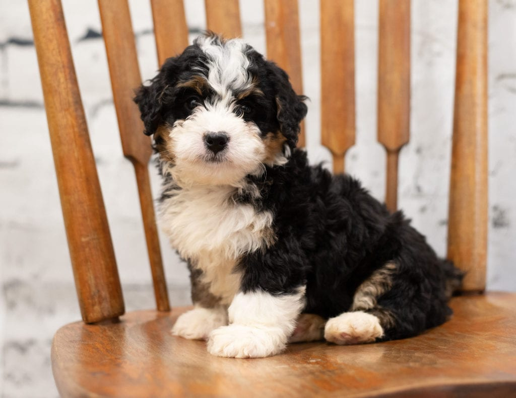 Another great picture of Pixie, a Bernedoodles puppy
