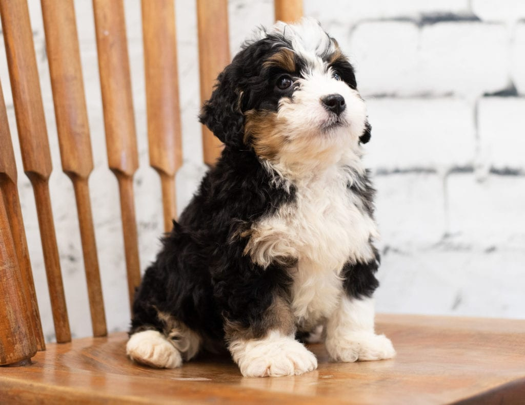 A picture of a Pixie, one of our Mini Bernedoodles for sale