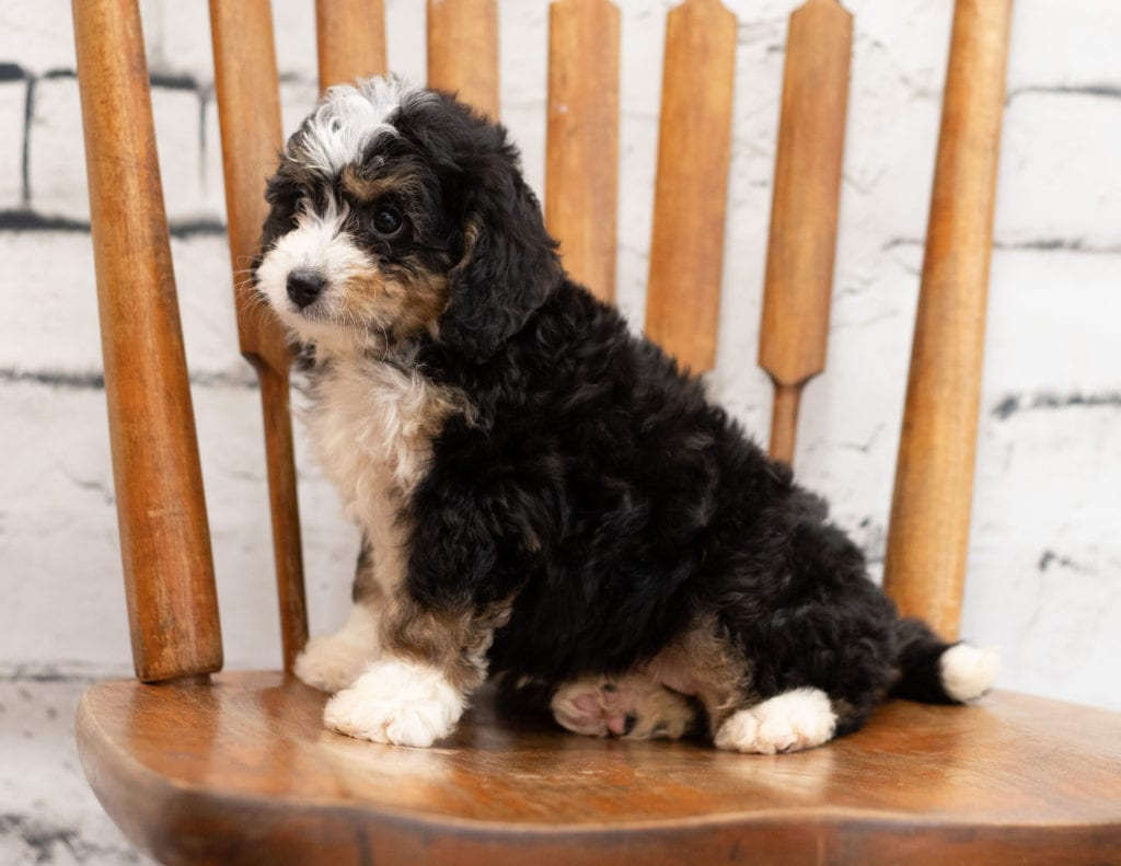 Polly is an F1 Bernedoodle.