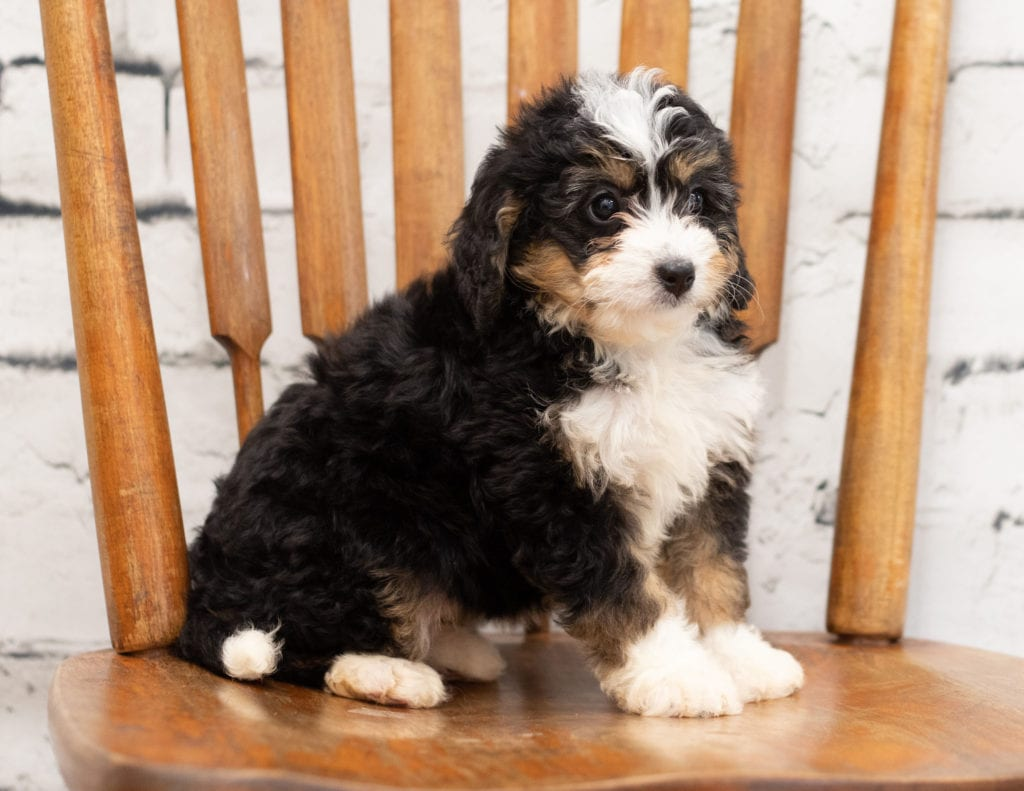 A picture of a Polly, one of our Mini Bernedoodles for sale