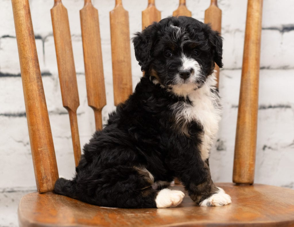A picture of a Pookie, one of our Mini Bernedoodles for sale