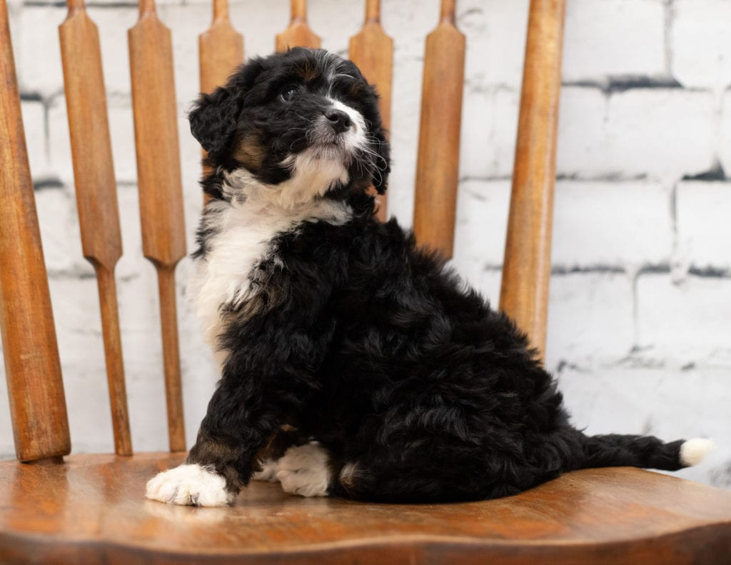 Another great picture of Pookie, a Bernedoodles puppy