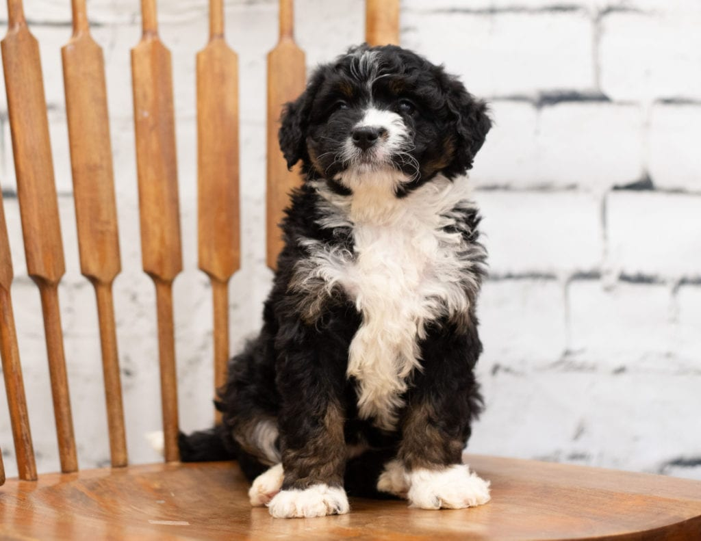 Pookie is an F1 Bernedoodle.