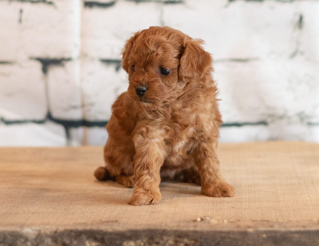 Quen came from Cali and Reggie's litter of F1B Cavapoos