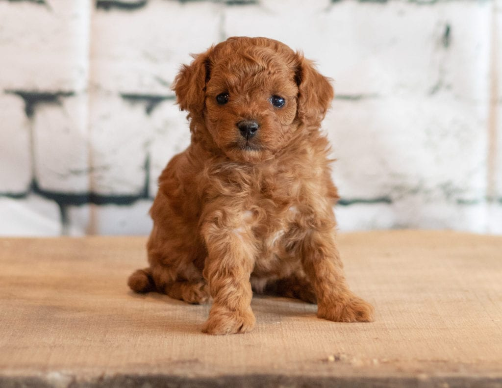 A picture of a Quen, one of our Petite Cavapoos puppies that went to their home in Illinois
