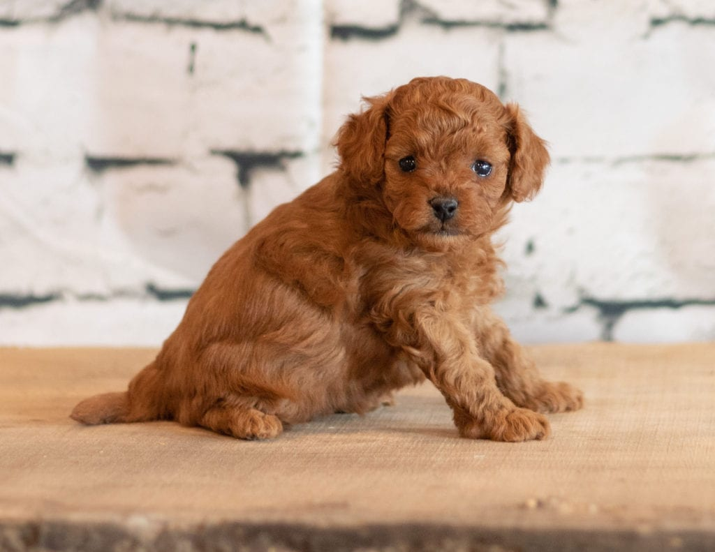 Quen is an F1B Cavapoo that should have  and is currently living in Illinois