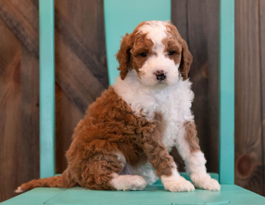 Mini Goldendoodles with hypoallergenic fur due to the Poodle in their genes. These Goldendoodles are of the F1BB generation. For more info on generations, view our specific breed page for Goldendoodles.