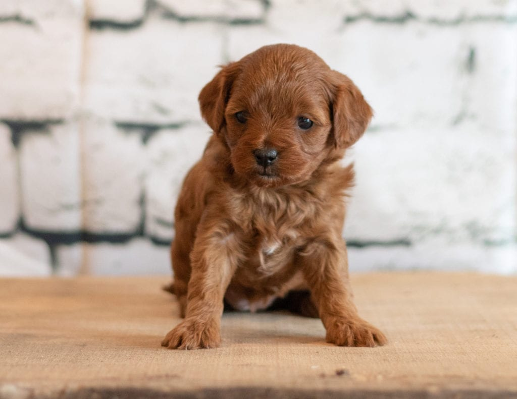 A picture of a Quni, one of our Petite Cavapoos puppies that went to their home in Minnesota