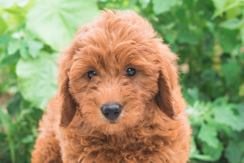 A picture of a Silo, one of our Mini Goldendoodles for sale