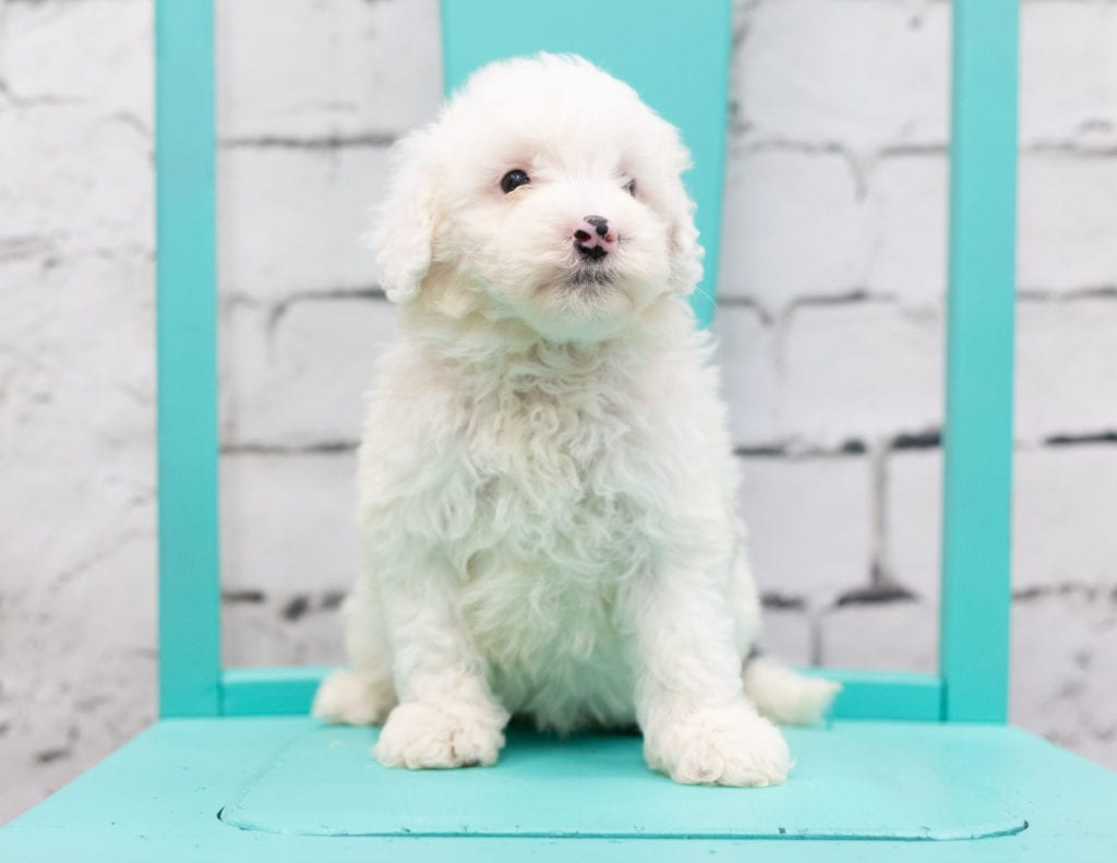 Sadie is an F1 Sheepadoodle that should have  and is currently living in New York
