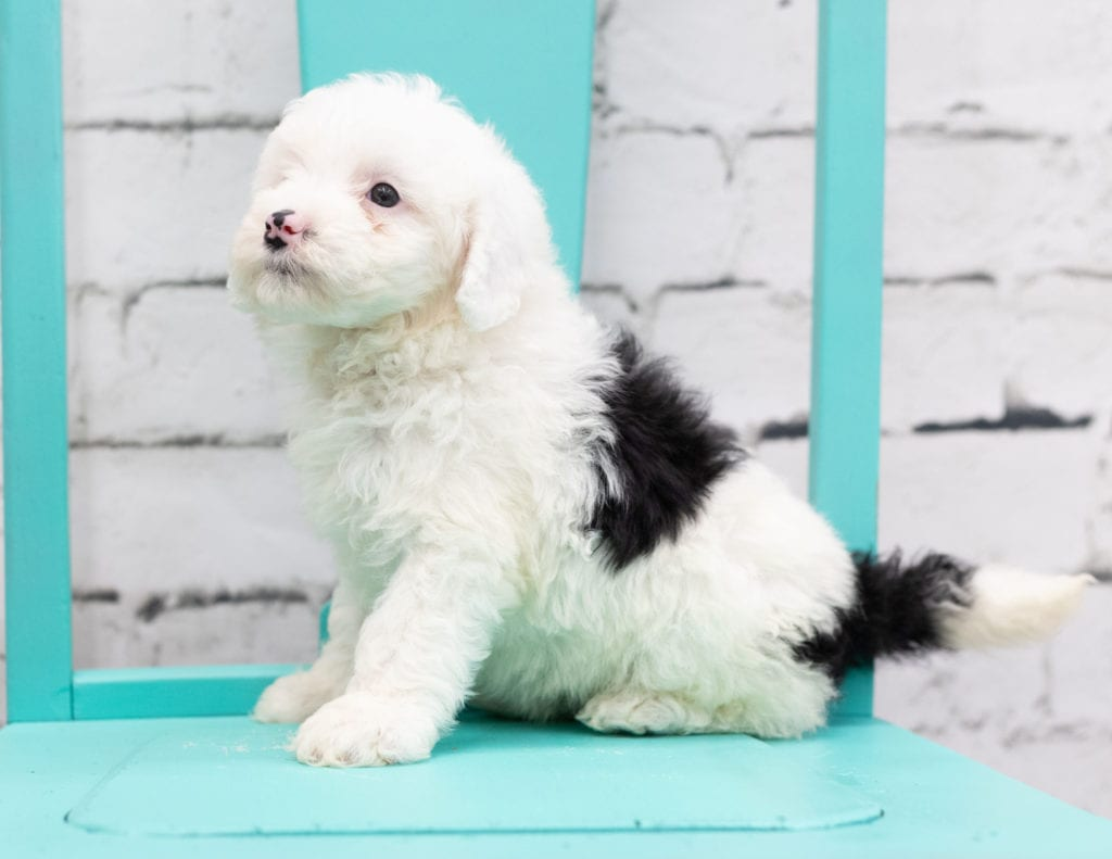 A picture of a Sadie, one of our Mini Sheepadoodles puppies that went to their home in New York