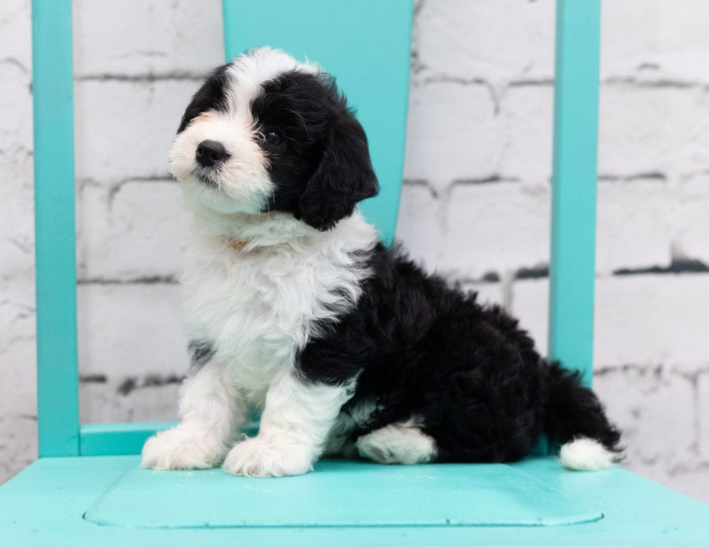A picture of a Shay, one of our Mini Sheepadoodles for sale