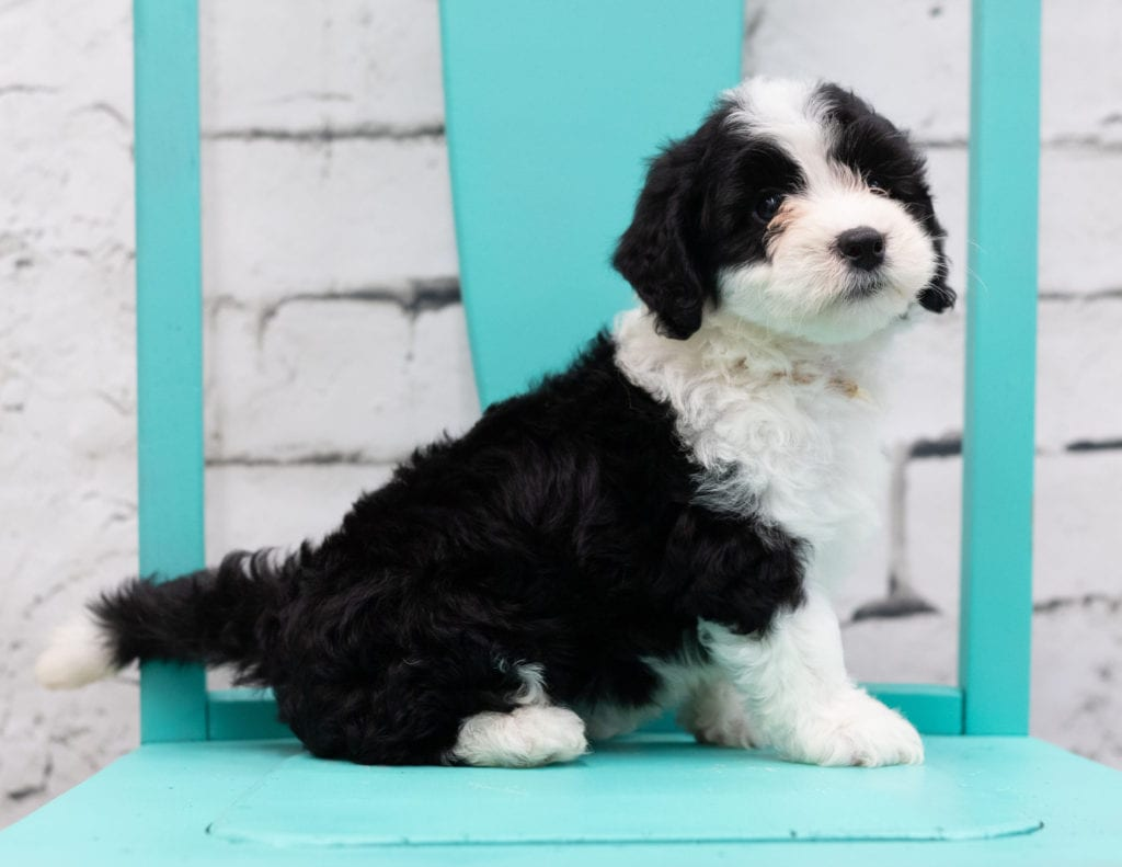 Shay came from Piper and Stanley's litter of F1 Sheepadoodles