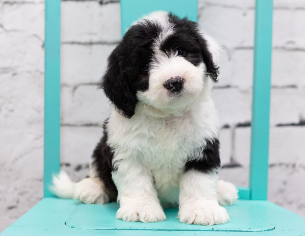 Sid came from Piper and Stanley's litter of F1 Sheepadoodles