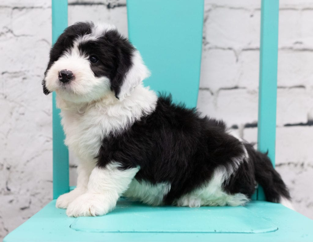 A picture of a Sid, one of our Mini Sheepadoodles for sale