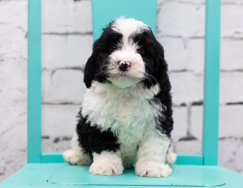 Silas is an F1 Sheepadoodle.