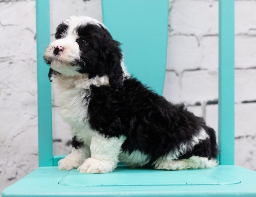A picture of a Silas, one of our Mini Sheepadoodles for sale
