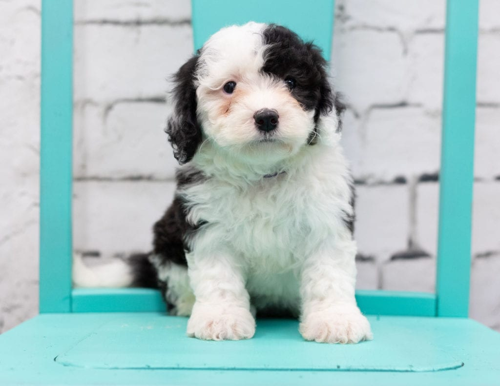 A picture of a Skye, one of our Mini Sheepadoodles for sale