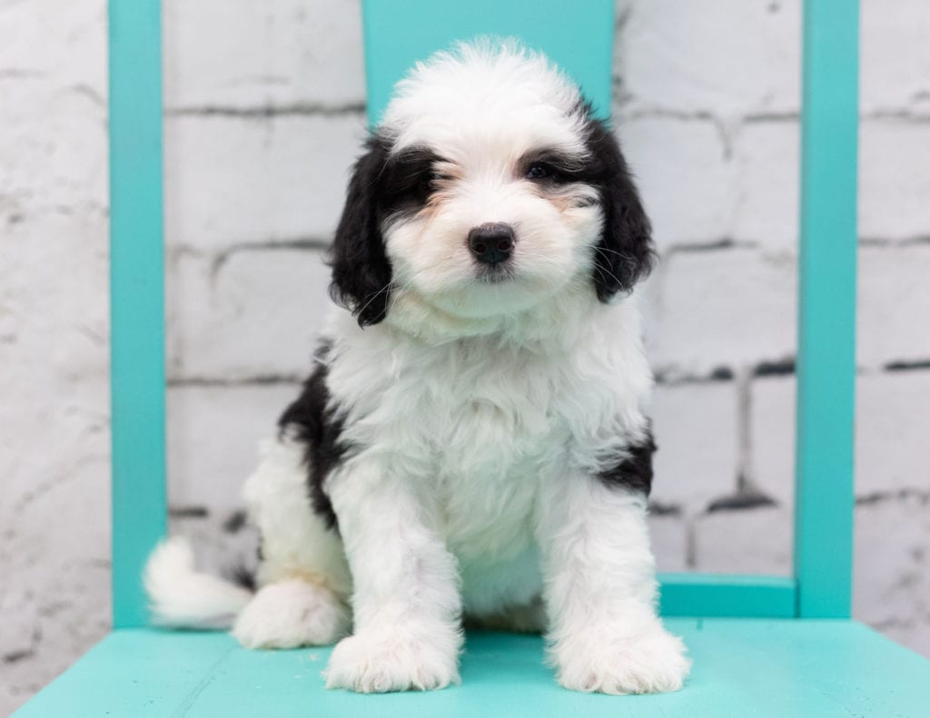 Skylar is an F1 Sheepadoodle that should have  and is currently living in Texas