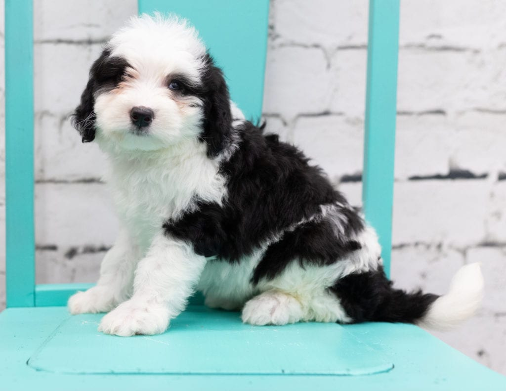 Skylar came from Piper and Stanley's litter of F1 Sheepadoodles