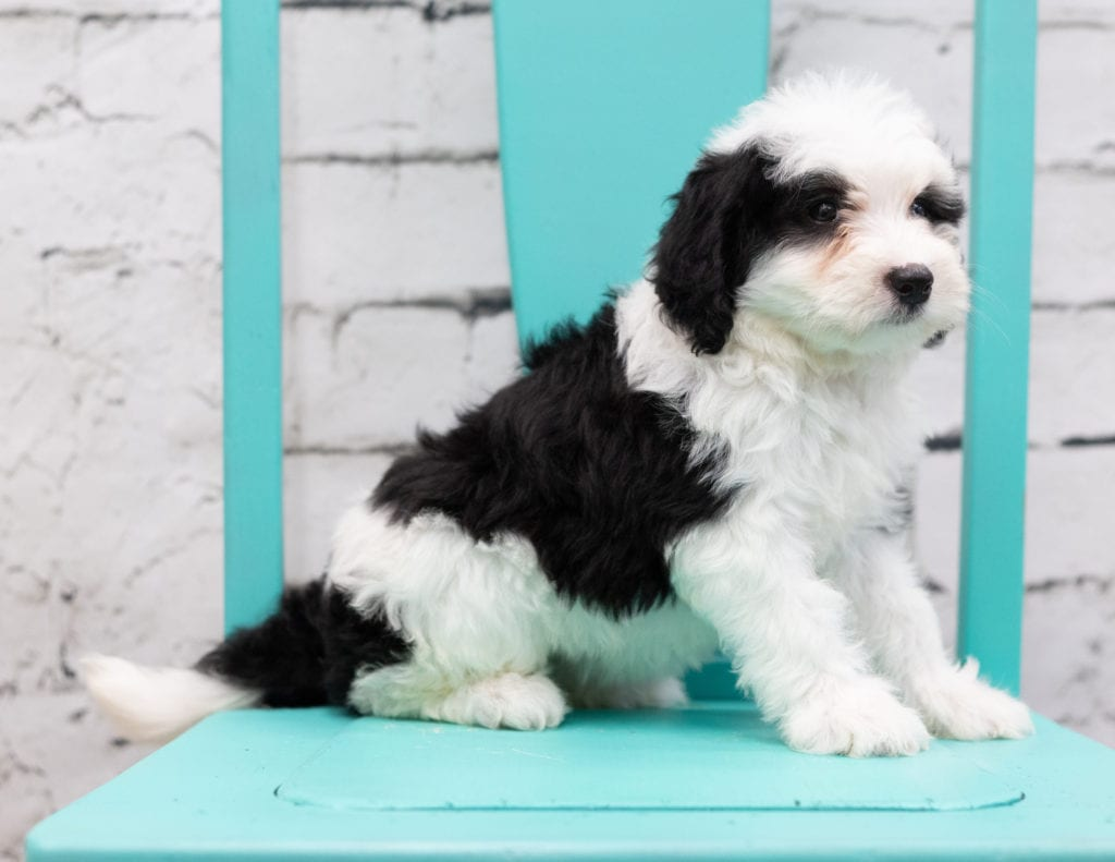 A picture of a Skylar, one of our Mini Sheepadoodles puppies that went to their home in Texas