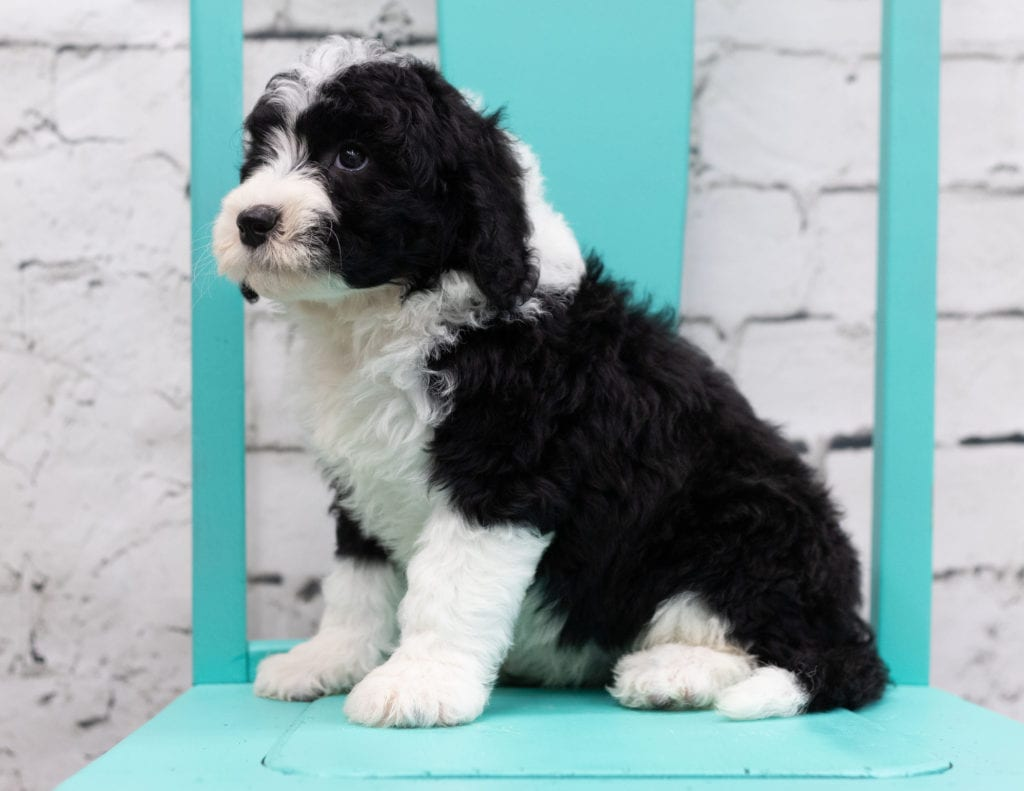 Snowy is an F1 Sheepadoodle.