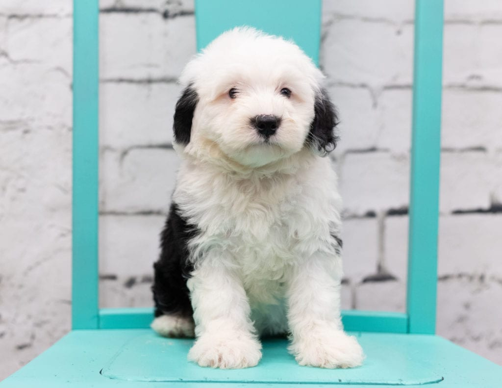 Sofia is an F1 Sheepadoodle that should have  and is currently living in Pennsylvania