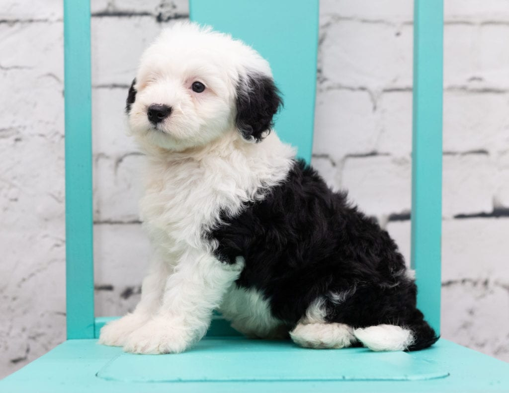 A picture of a Sofia, one of our Mini Sheepadoodles puppies that went to their home in Pennsylvania