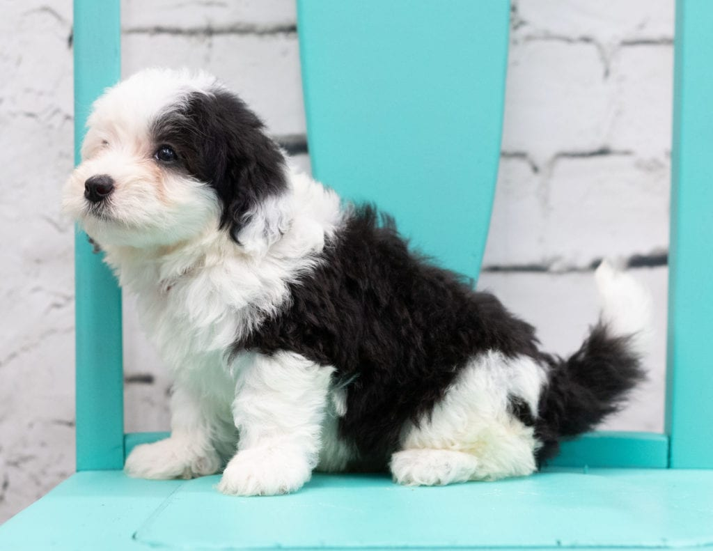 A picture of a Sosa, one of our Mini Sheepadoodles for sale