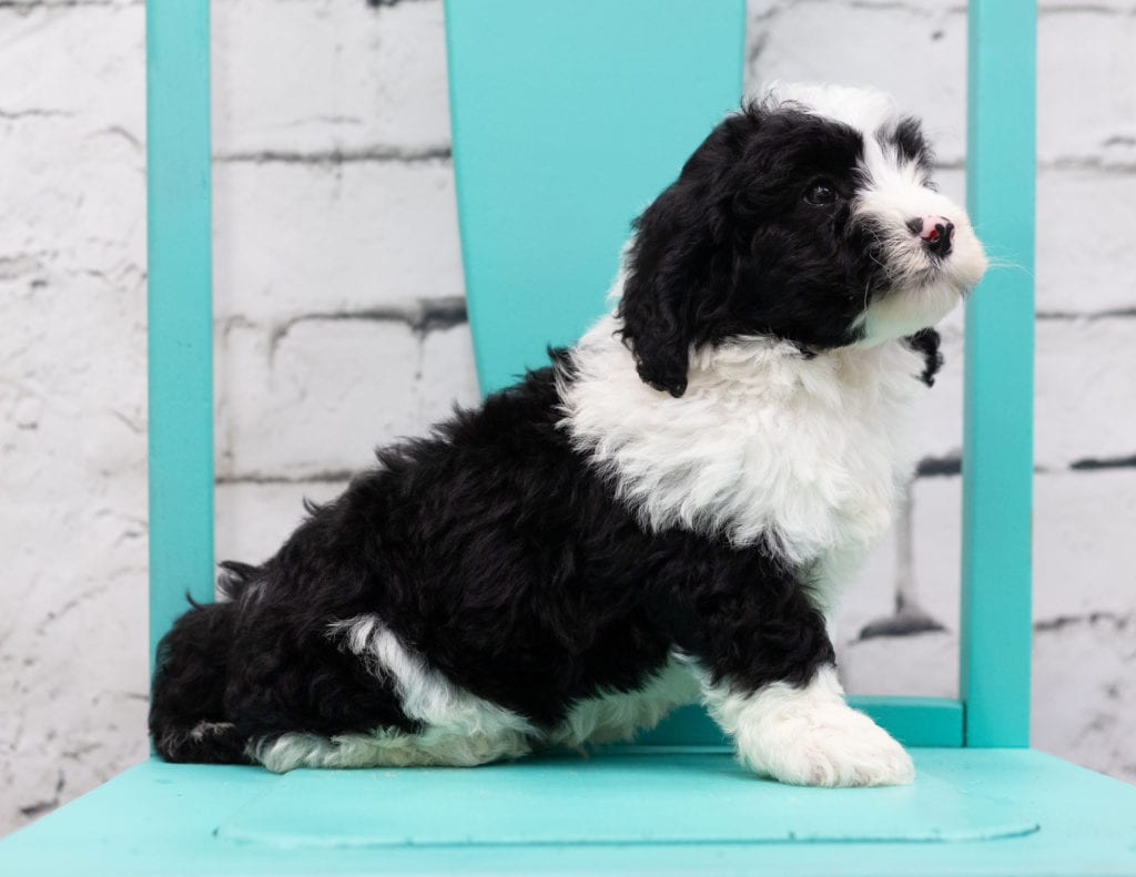 Sosa came from Piper and Stanley's litter of F1 Sheepadoodles