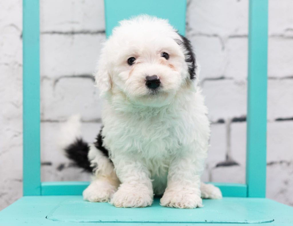 Storm is an F1 Sheepadoodle that should have  and is currently living in Arizona