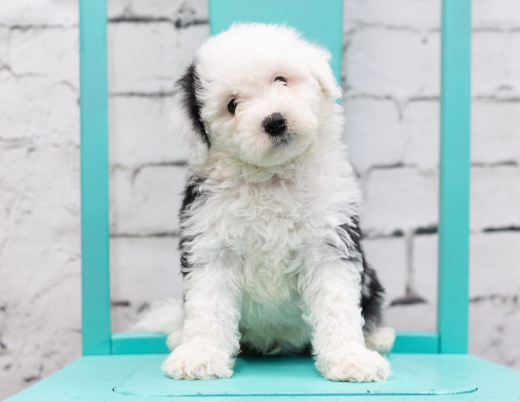 A picture of a Sully, one of our Mini Sheepadoodles puppies that went to their home in Iowa