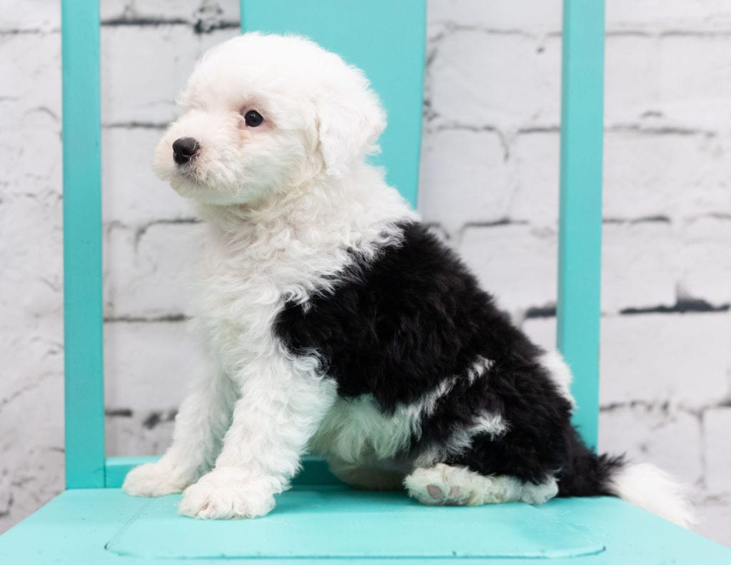 Sully is an F1 Sheepadoodle that should have  and is currently living in Iowa
