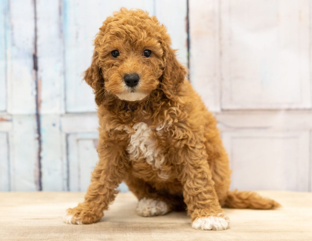 Val is an F1BB Goldendoodle that should have  and is currently living in Iowa