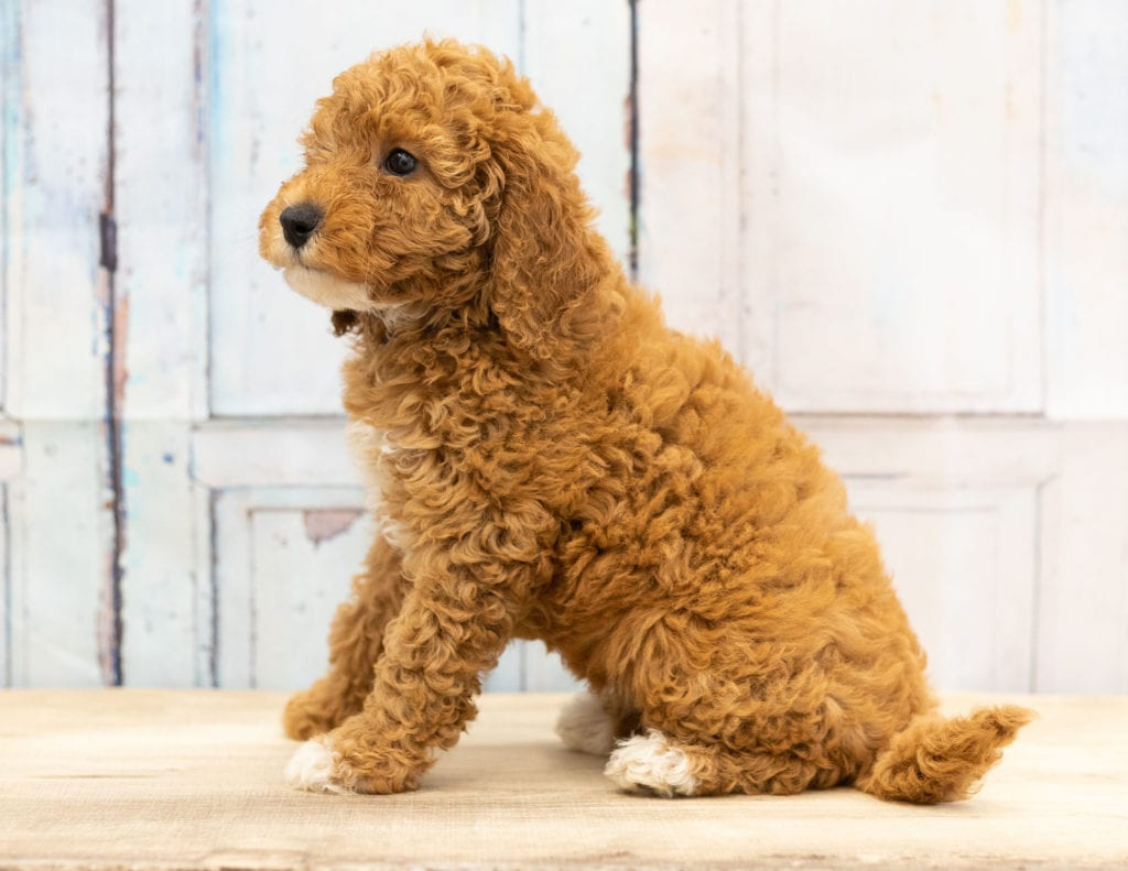 Val came from Candice and Teddy's litter of F1BB Goldendoodles