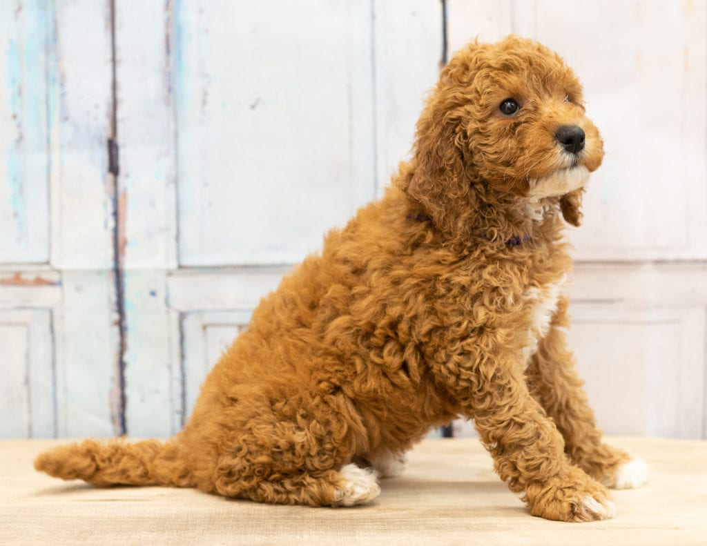 A picture of a Val, one of our Mini Goldendoodles puppies that went to their home in Iowa