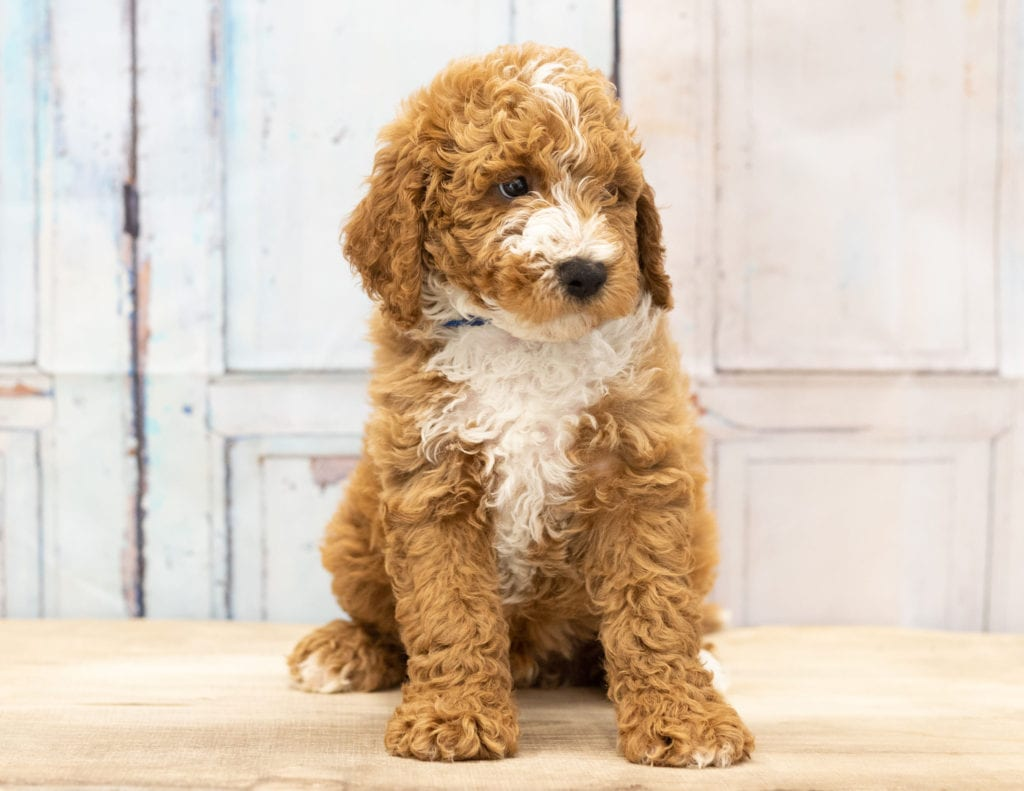 Van is an F1BB Goldendoodle that should have  and is currently living in Indiana
