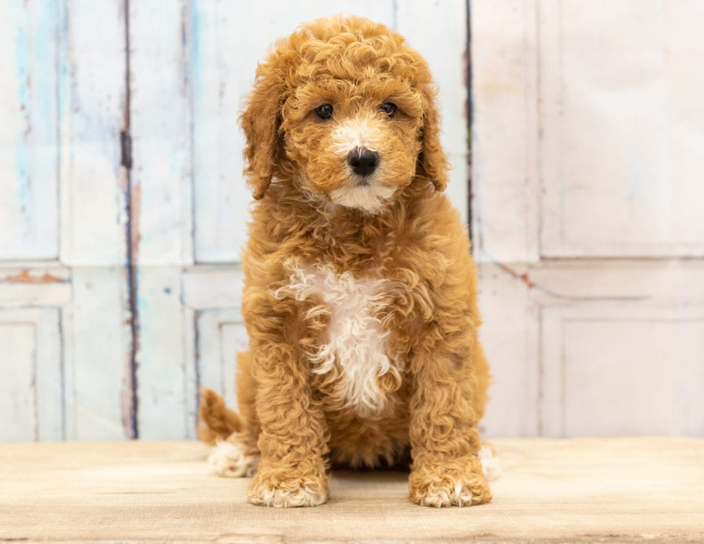 Vera is an F1BB Goldendoodle that should have  and is currently living in Iowa