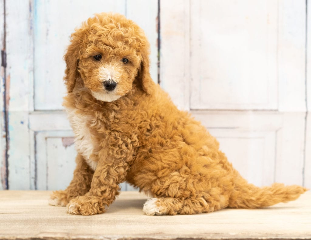Vera came from Candice and Teddy's litter of F1BB Goldendoodles