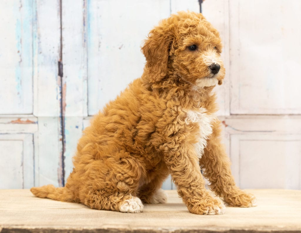 Another great picture of Vera, a Goldendoodles puppy
